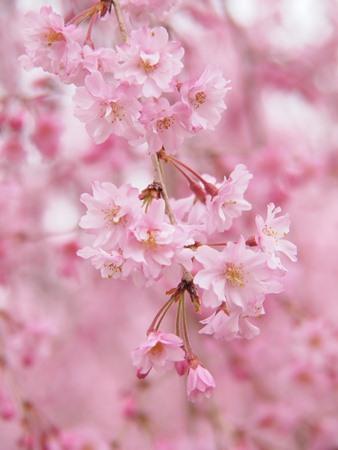 枝垂れ桜♪
