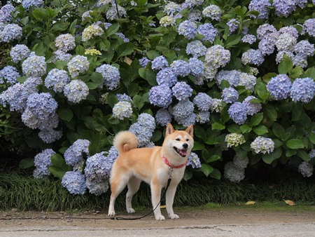 紫陽花とさくら