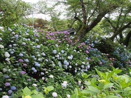 一面の紫陽花