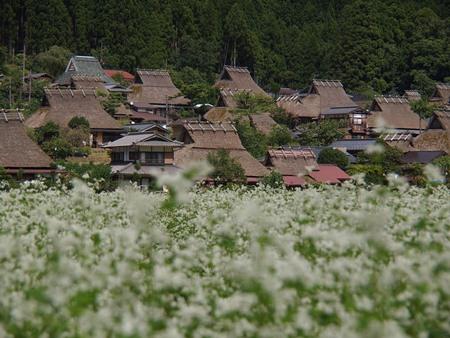 かやぶき民家と蕎麦の花