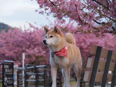 早朝の河津桜×さくら