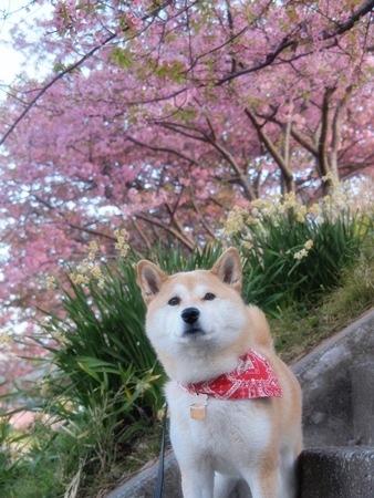 河津桜×さくら