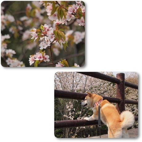 桜が咲いてたよ