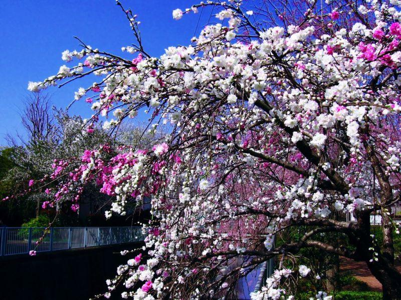 ハルKARAの量産型お尻テポドン夢日記-桃の花青空pc壁紙無料ダウンロード