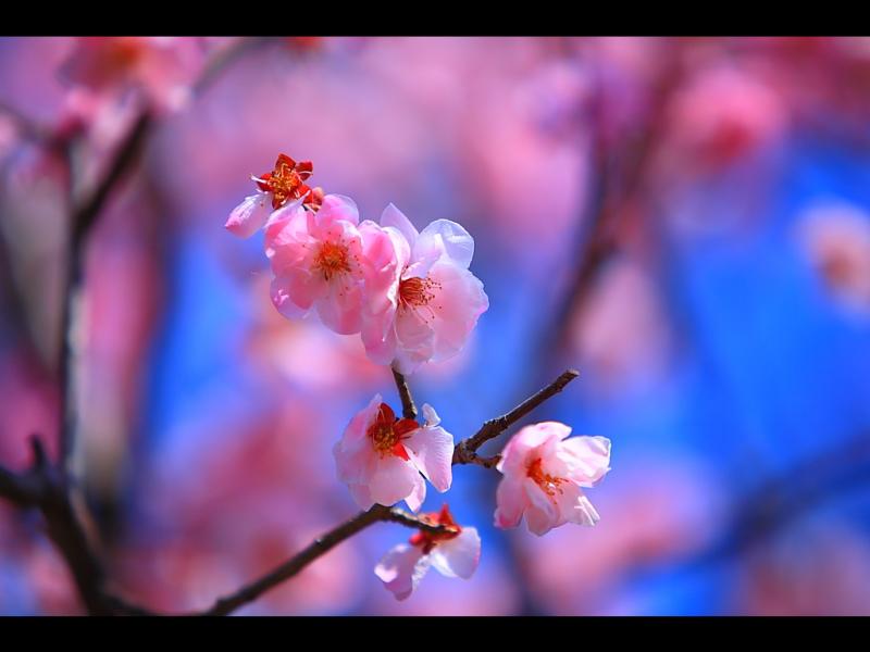 ハルKARAの量産型お尻テポドン夢日記-梅の花青空pc壁紙無料ダウンロード