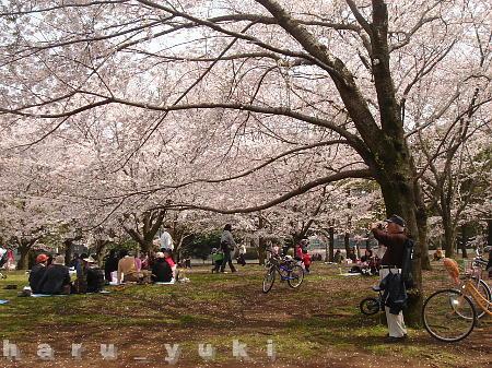 じいちゃんと桜