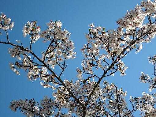 総文館の桜5