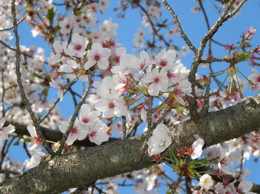 総文館の桜4