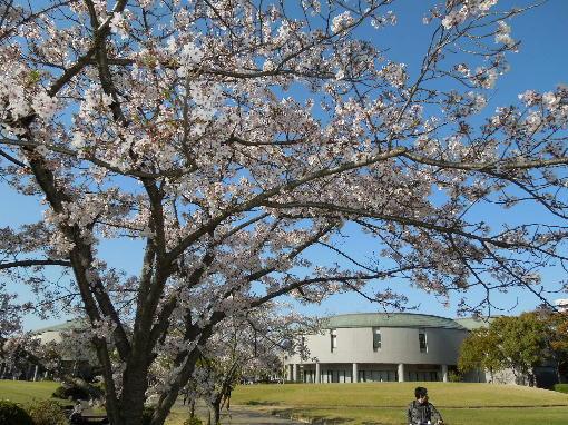 総文館の桜3