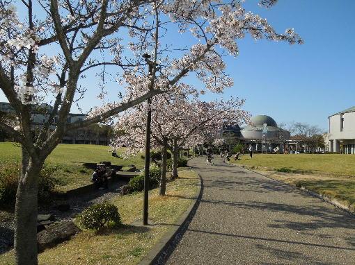 総文館の桜2