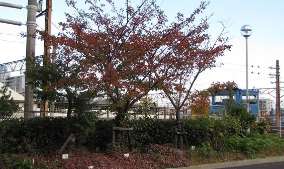 名古屋市内でも、色づいた木々が増えてきました・・