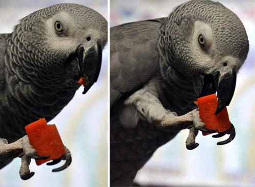 人参を食べるChloe