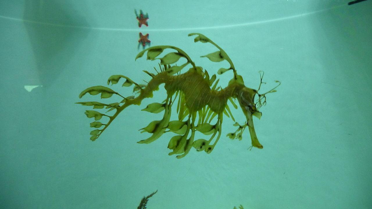 1280px-Leafy_Sea_Dragon_2010-01.jpg