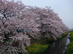 小学校の桜2011