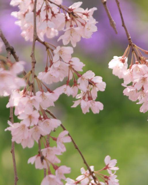 平野神社0232_R
