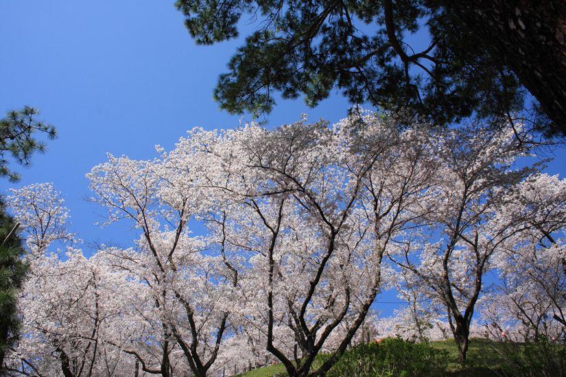 半田山桜0246_R