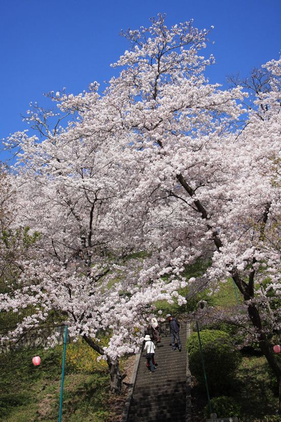 半田山桜0244_R