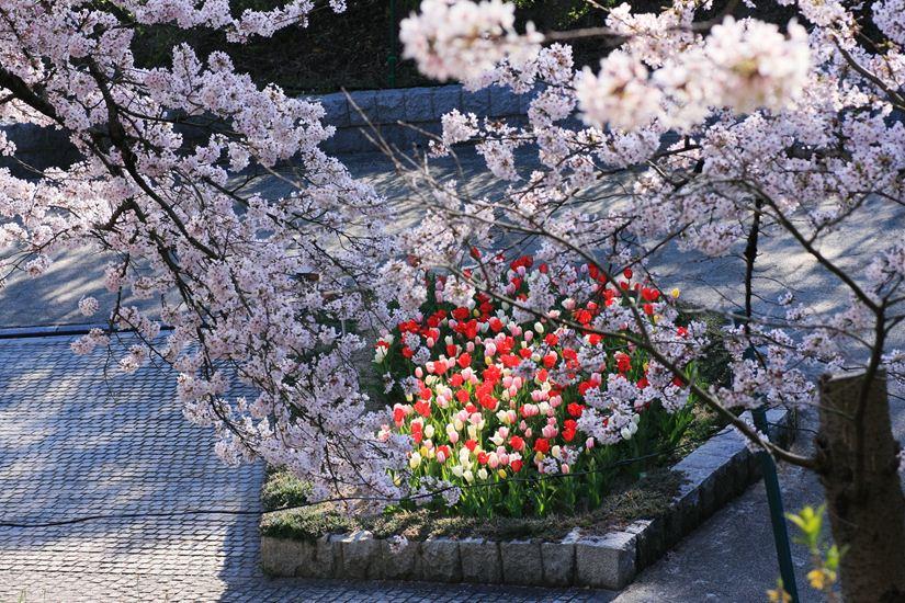 半田山桜0240_R