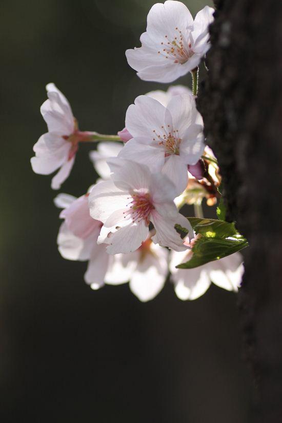 半田山桜0243_R