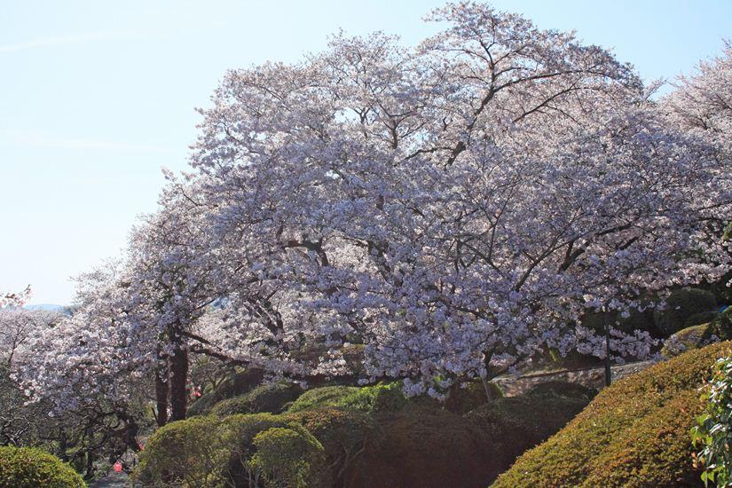 半田山桜0239_R
