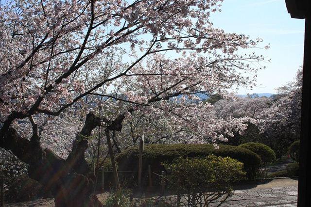 半田山桜0238_R_R