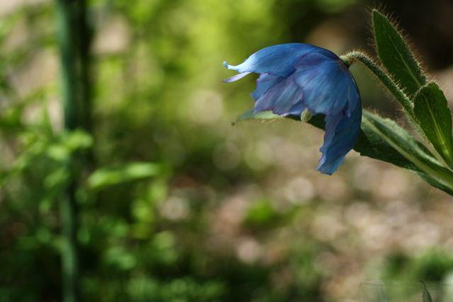 青いケシ0342_R