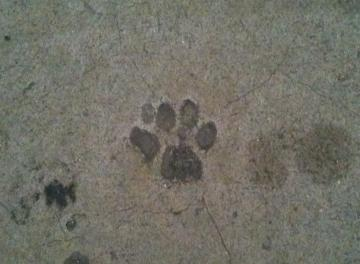 cats footprint