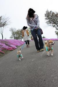 芝桜 散歩1