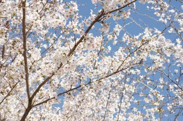桜・・・青空が濃い