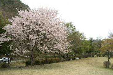 一本桜・・・に見えるかな?
