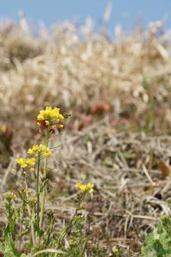 土手の菜の花♪