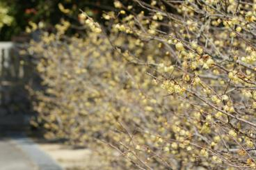 蝋梅の並木