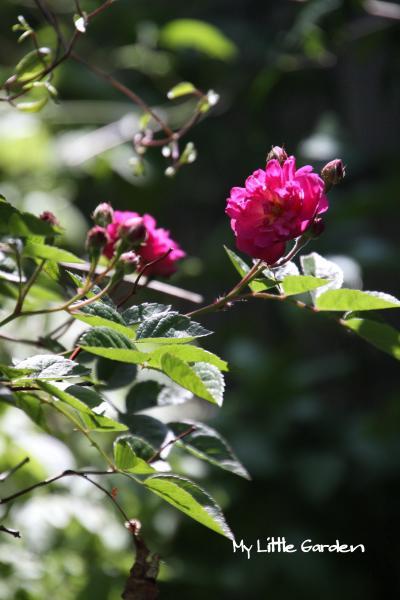 不明ツル薔薇