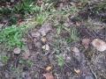 白樺キノコ2