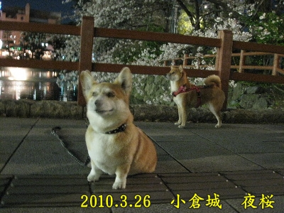 2010.3小倉城夜桜