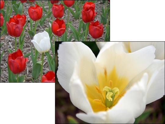 tulip_20120421232343.jpg