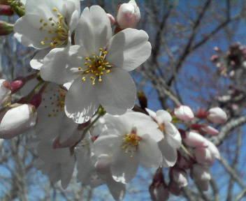 20100401桜