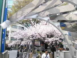 渋谷でのお花見