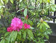 庭のシャクナゲ