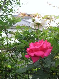 庭に咲いたばら