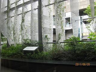 庭の紫陽花白樺 二子玉など 016