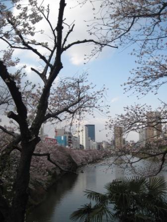 ビルの合間に桜が並び