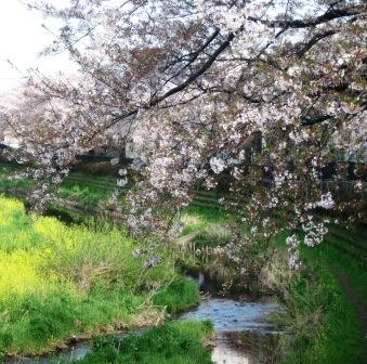 ちょっと葉桜だけど