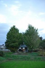 Big ginkgo trees_40