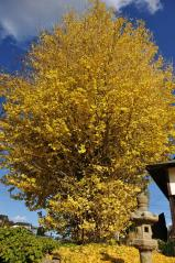 Big ginkgo trees_57