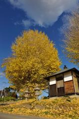 Big ginkgo trees_56