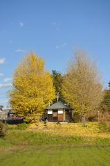 Big ginkgo trees_61