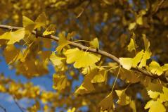 Big ginkgo trees_59