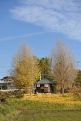 Big ginkgo trees_72