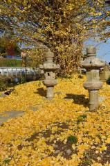 Big ginkgo trees_66